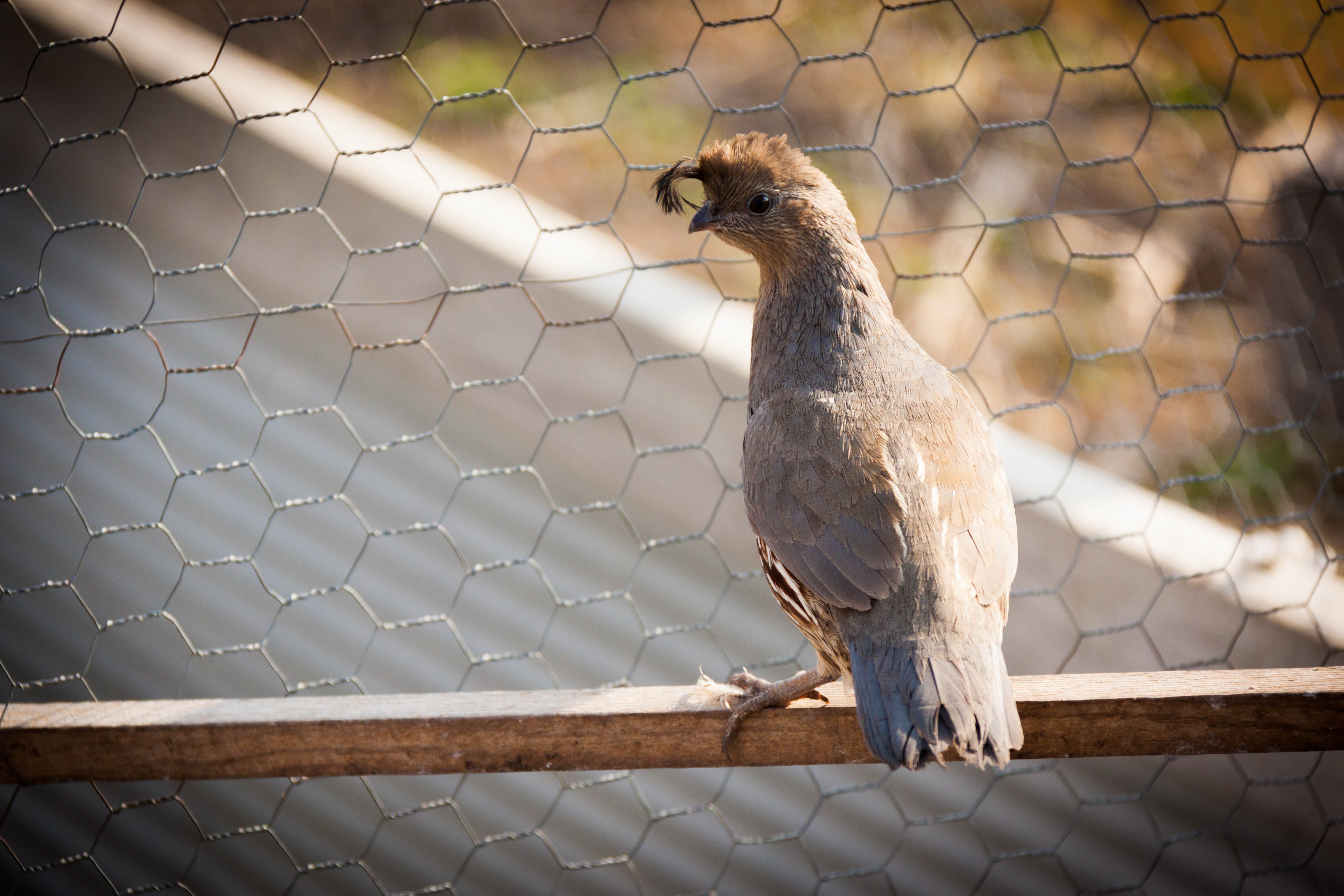 Buy Live Quail For Sale In Kansas Kansas Game Birds