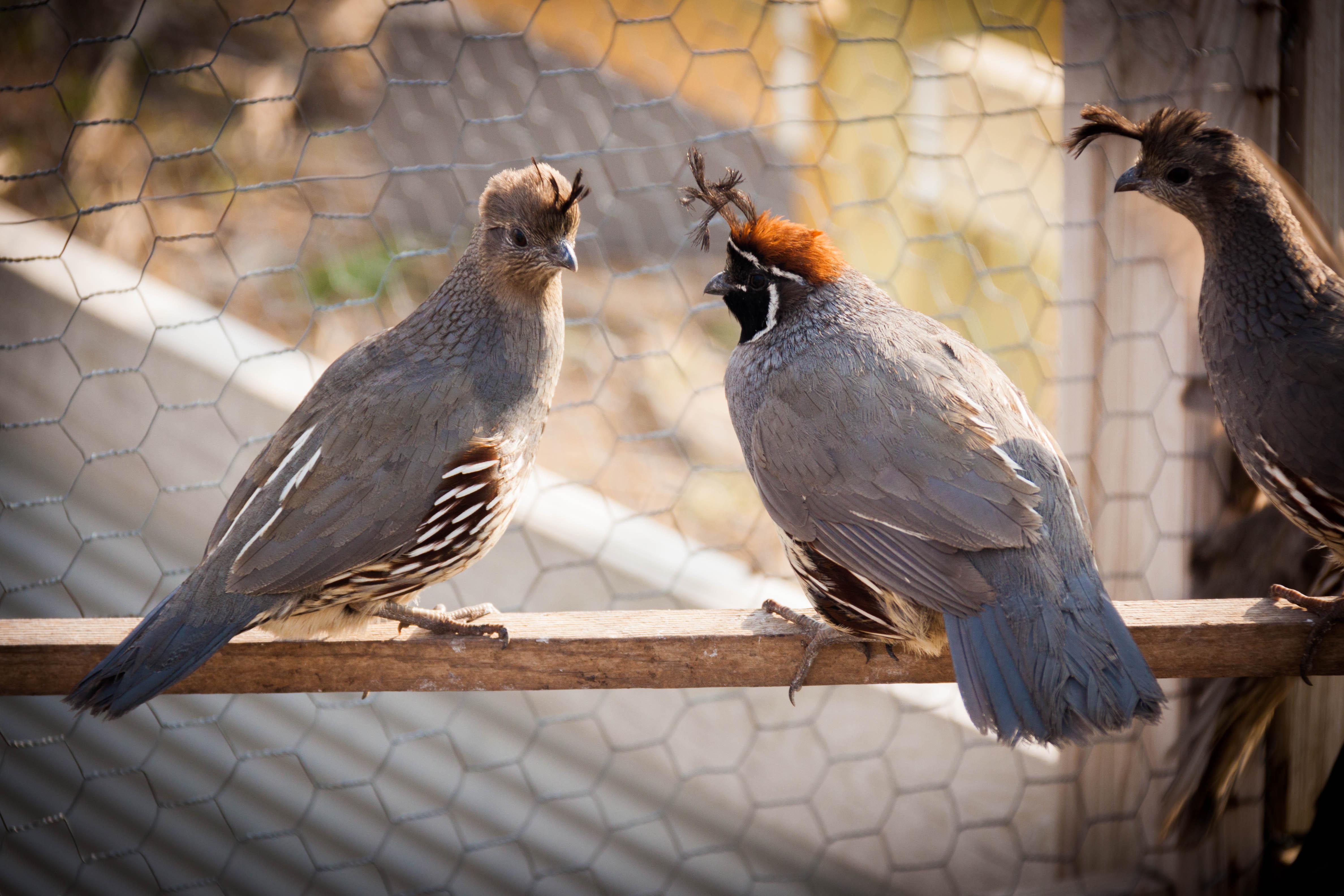Buy Live Quail For Sale In Kansas | Kansas Game Birds