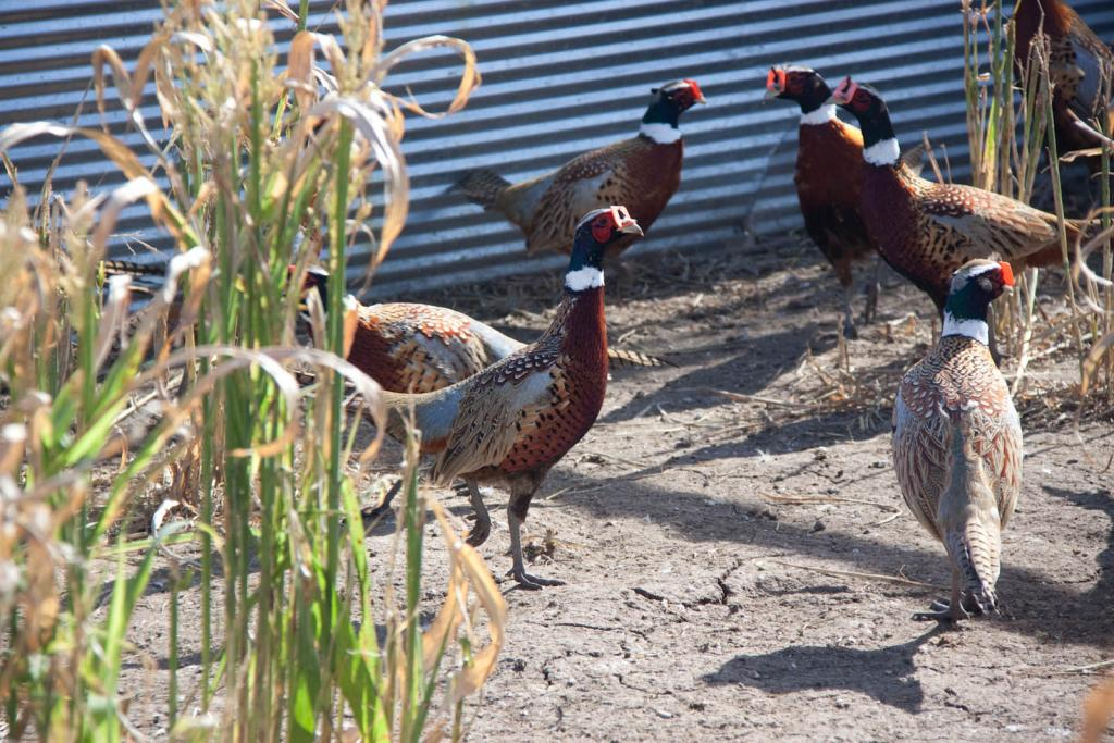 Buy Pheasant For Sale In Kansas  Kansas Game Birds
