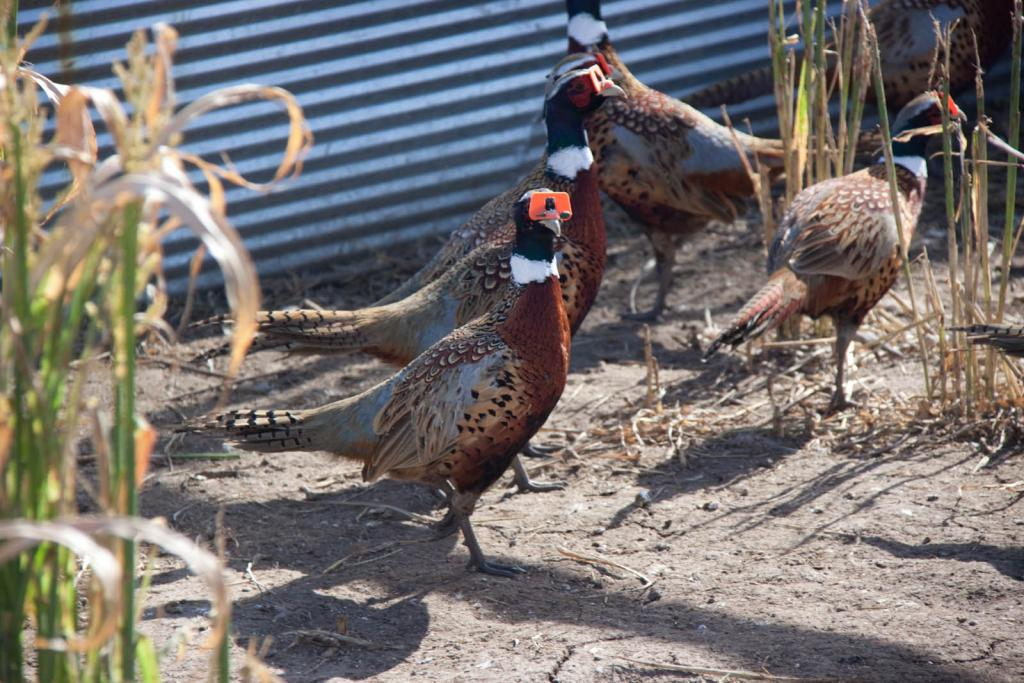 Mature Pheasants For Sale - Milf - Hot Pics-8258