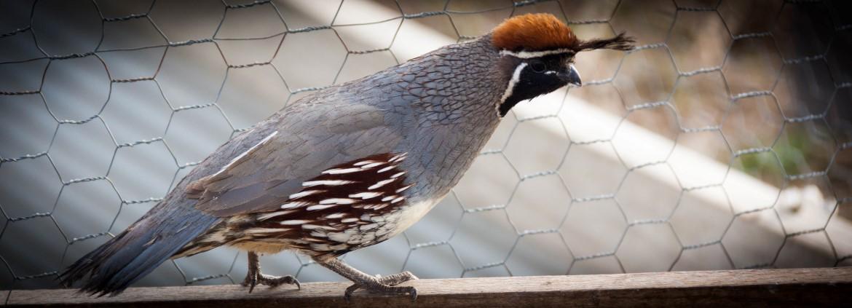 Kansas Game Birds | Flight ready Quail, Pheasant and Chukars